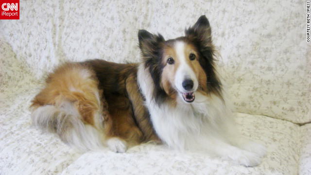 Beth Spiess of San Marcos, Texas, says her sheltie, Daisy, had become so obese from over-feeding (64 pounds) that she couldn't walk anymore, and her original owners wanted to put the dog to sleep. The vet refused to put her down and surrendered the dog to a shelter in 2010 (Spiess adopted her in July 2011). Since May 2010, Daisy has lost nearly 30 pounds through a rigid diet -- 1/4 cup grain-free kibble, 1/4 cup frozen green beans twice a day and poached, boneless, skinless chicken bits as treats -- regular walks and no people food. 