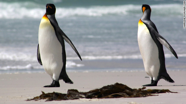 Several species of penguins inhabit the Falkland islands.