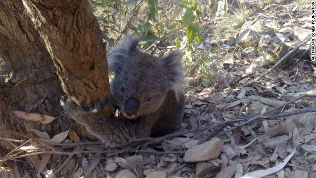 Koala populations are highly vulnerable to drought. In extremely dry periods, trees lose their leaves. The leaves that remain tend to be low in nutrients.