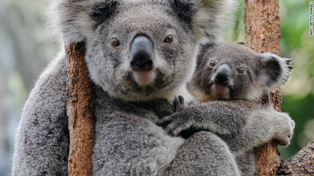 This is the familiar image of koalas presented to tourists. This pair lives at Wild Life Sydney and spend much of their day quietly munching leaves.