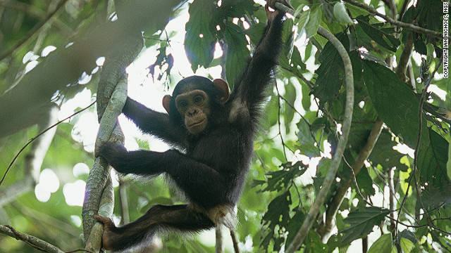 WCS first reported the ape population back in 1989.