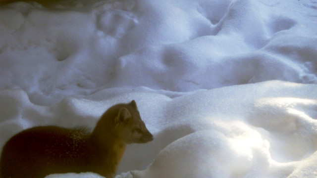 A pine marten mugs for the camera in the Colorado backcountry. Pine martens are one of the few animals clever enough to hunt porcupines.
