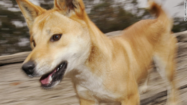 A file image of a captive dingo inside an enclosure at the Dingo Discovery and Research Centre in Victoria, Australia. Chamberlain-Creighton long maintained that a dingo took her baby.