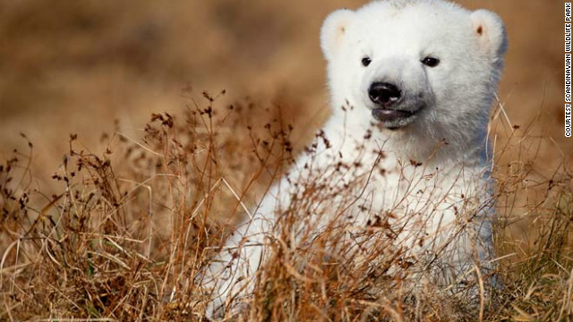 Polar bear cub going live to save sea ice