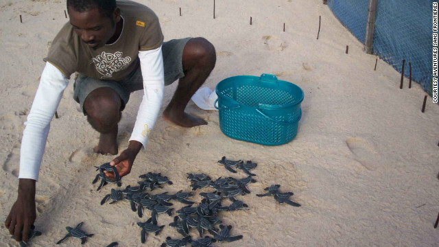 Leatherback hatchlings in a hatchery, Gabon.