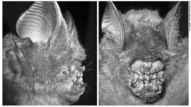 """Descubren en Vietnam el murciélago """"nariz de lechuga"""""""