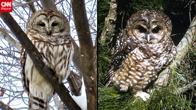 Feds consider killing barred owls to save another type