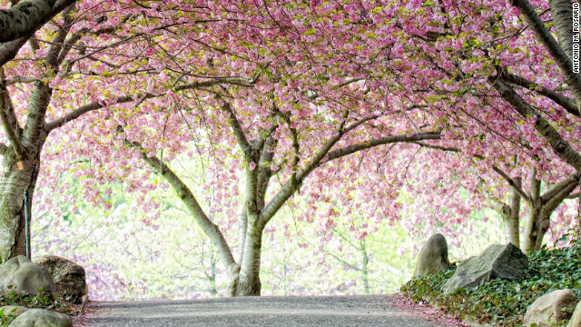 The Brooklyn Botanic Garden's Cherry Walk offers a lovely stroll in the spring. The garden claims a more diverse collection of Japanese flowering cherries in one place than anywhere in the world outside Japan.