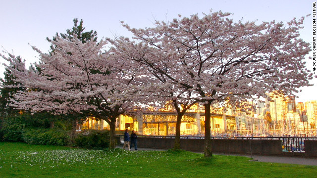 Cherry blossoms are in abundance in the spring on Granville Island in Vancouver, which first started planting cherry trees in the 1930s.