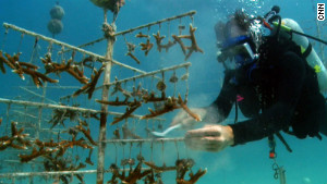 The Coral Restoration Foundation grows corals in underwater nurseries. After about a year, the corals are taken to the wild.