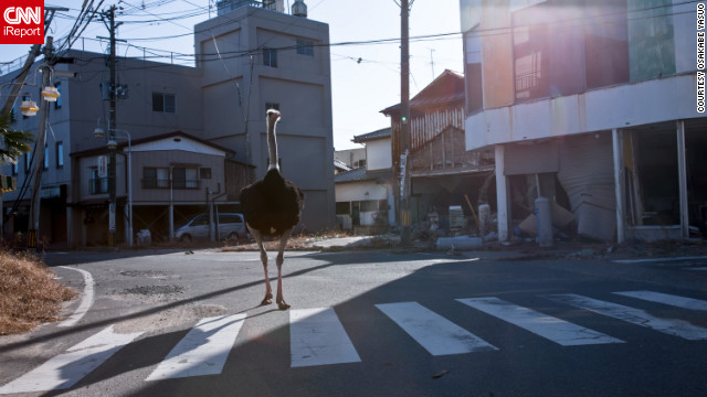 Tokyo-based photographer Osakabe Yasuo recently visited the Fukushima exclusion zone and saw animals, such as this ostrich, wandering the streets. &quot;It still seems like March 11 down there,&quot; he said.