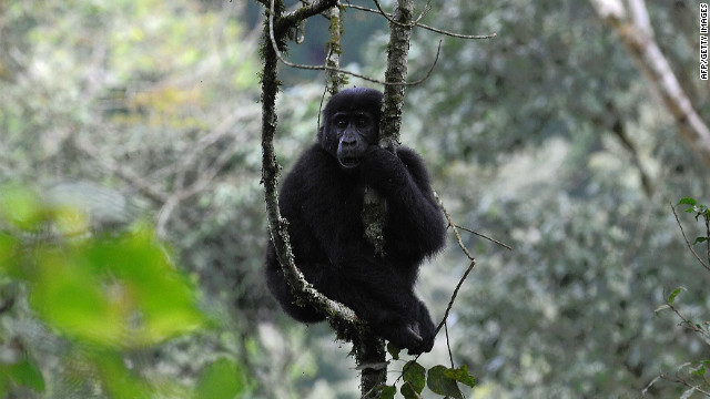 A female mountain gorilla sits in a tree at the Bwindi Impenetrable Forest bordering the DRC and Rwanda.