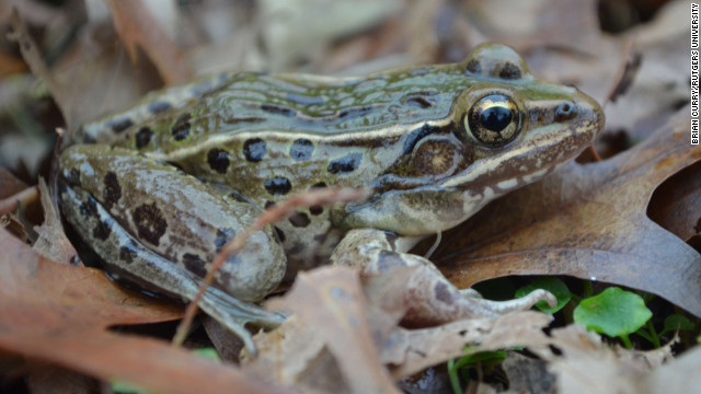 Scientists say the new leopard frog species, which is currently unnamed, has a