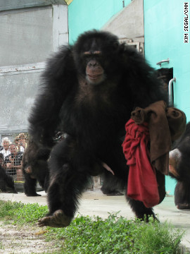 "Fifteen-year-old JJ still finds security in his blankets. ""We are basically taking responsibility for the lives that someone else created,"" says Save the Chimps' Feuerstein, who relies on donations to fund the sanctuary. Each chimpanzee will cost the sanctuary $15,500 every year to take care of, she says."