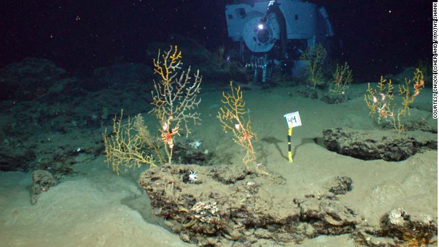 Researchers found coral at the bottom of the Gulf of Mexico covered with