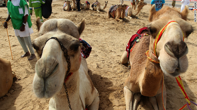 Camels at the Sheikh Sultan Bin Zayed Al-Nahyan Camel Festival on the outskirts of Abu Dhabi on February 16, 2012.