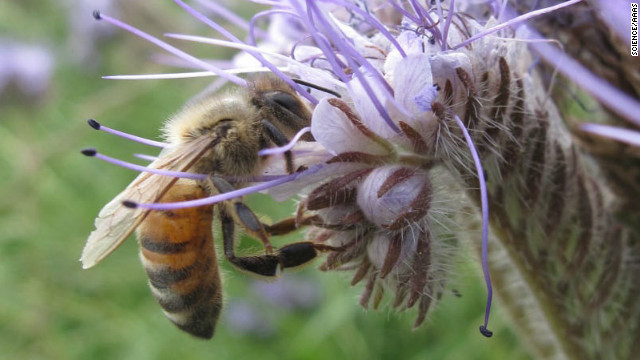 Studies link pesticides to plunging bee populations