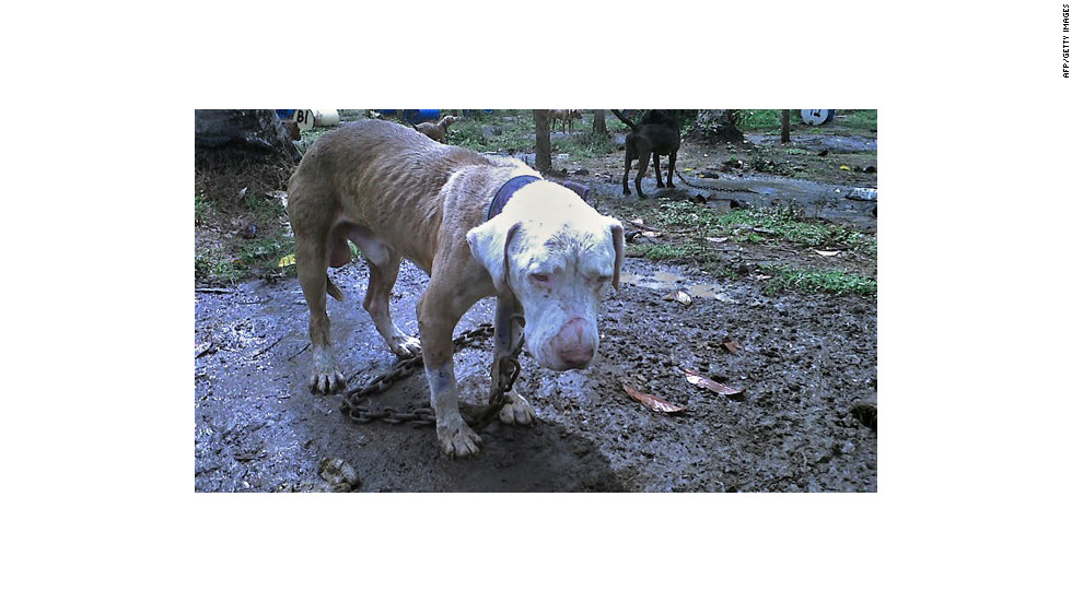 Unos 300 pitbulls fueron encontrados viviendo en mal estado dentro de un complejo de peleas clandestinas administrado por coreanos en Filipinas.