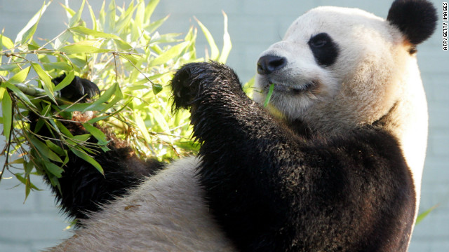 Overheard on CNN.com: Panda sex drive, robotic squirrel and a Beltway Batman