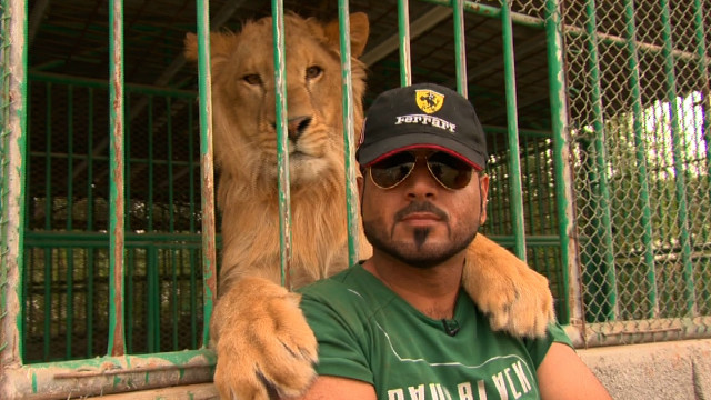 """Leones y tigres se convierten en mascotas """"problema"""" en el Golfo"""