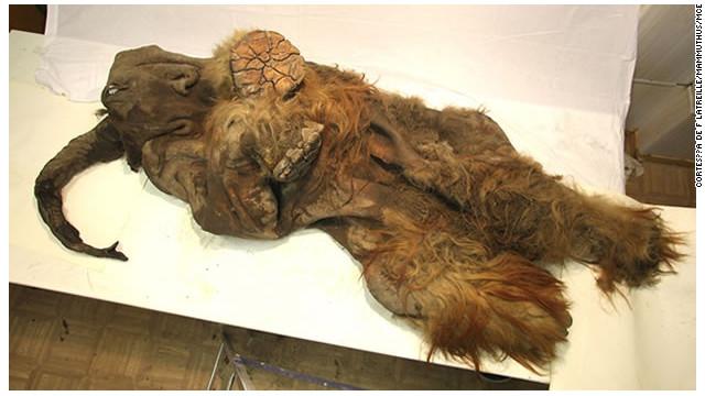 Un mamut de 10.000 años hallado en Siberia podría ser clonado