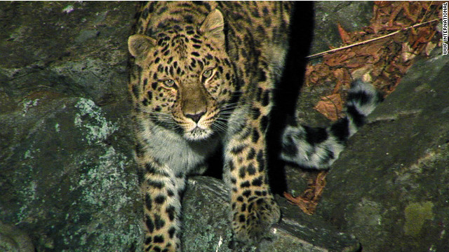 WWF: Russia setting up park to save leopards