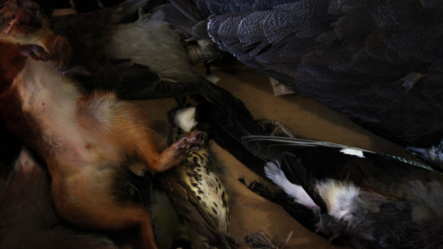 The day's new arrivals -- squirrel and a selection of game birds -- are delivered directly to Noma from the local farmlands. 