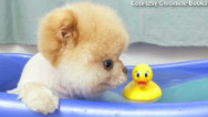 The RidicuList: Boo &#039;the world&#039;s cutest dog&#039; lives
