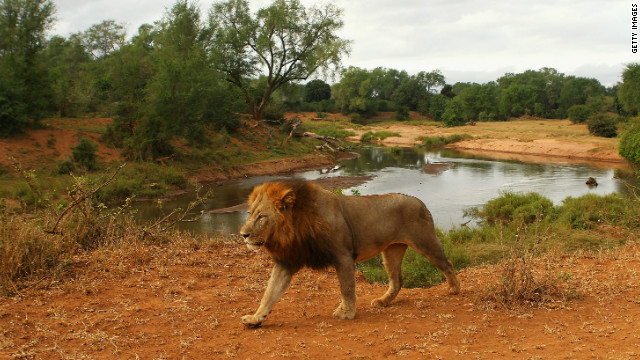 A lion walks through the Pafuri game reserve in South Africa's Kruger National Park. Tracker Renias Mhlongo was born under a tree in the park.