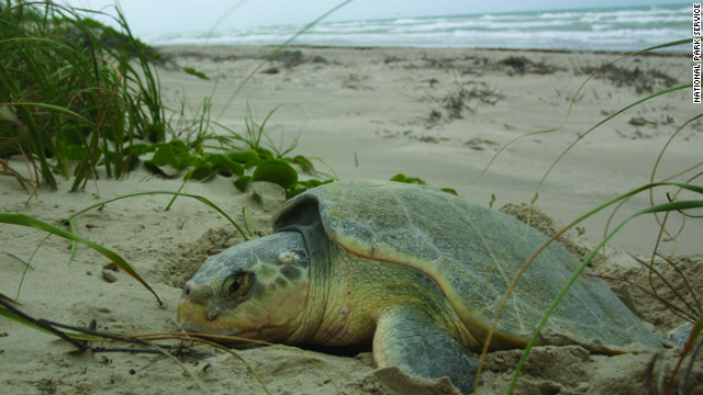 The Sea Turtle Science and Recovery Program at Padre Island is committed to preserving and restoring populations of endangered sea turtles.