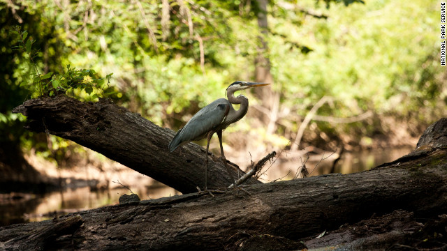 Bird-watching is a popular activity in Congaree National Park, especially during migration seasons.