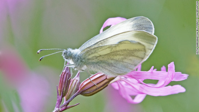 Three quarters of the UK's butterfly species, including the wood white, have seen their numbers decline in the last 10 years, according to Butterfly Conservation.