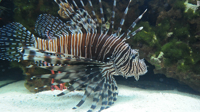 Native to the Indian and Pacific Oceans, lionfish have no natural predators in Atlantic waters and are impacting the functioning of the reef ecosystem.