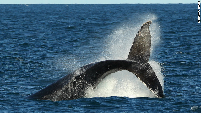 There are only between 350 and 550 right whales remaining, making it one of the most threatened large animals on the planet.
