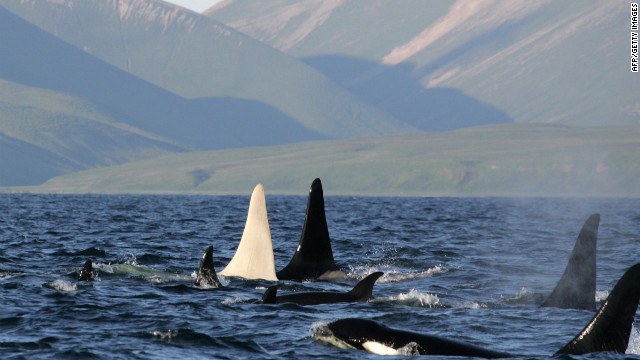 All-white killer whale spotted off Russia