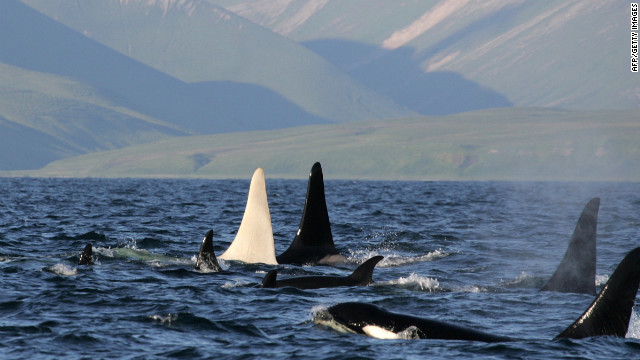 An albino killer whale nicknamed Iceberg, the only all-white, adult killer whale ever spotted, travels in a pod of 13 orcas near Bering Island off the coast of Russia.
