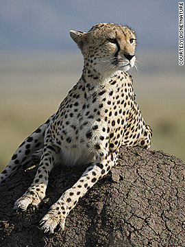"Sita, the adult female cheetah who is one of the ""stars"" of African Cats. Cheetahs are the fastest land animals in the world, with a top speed of 64 miles per hour. ""Every day is a matter of life or death for the animals in our film,"" says director Keith Scholey. ""There are incredible odds stacked against them... Yet in the face of those odds, you see huge acts of courage, incredible resilience and this great will to survive."""