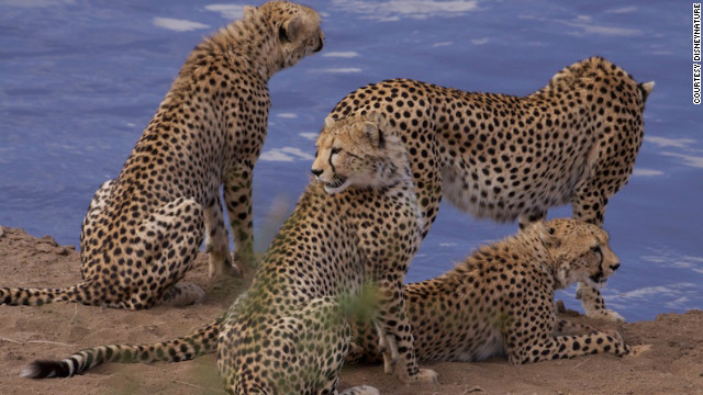 Cheetahs gather by the river in the Maasai Mara National Reserve in southwest Kenya. The reserve is famous as one of the few remaining places in Africa where the three big African cats -- lions, cheetahs and leopards -- live in large numbers and in close proximity. While cheetahs are often confused with leopards, but can be easily distinguished -- cheetahs have true spots while leopards have rosettes.