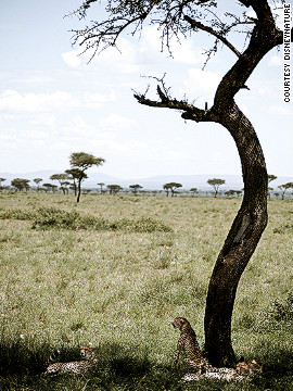 "Cheetahs rest in the shade of a tree in Kenya's Maasai Mara National Reserve. The reserve is named after the Maasai, the traditional inhabitants of the region, and the word ""mara"" -- which means ""spotted"" in the Maasai's language, and is the word they used to describe the landscape, with its patches of trees and scrub."