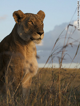 One of the lionesses tracked by the filmmakers during production. Highly social animals, lions live in prides that can include from one to three male lions and from three to 30 females, as well as their young. Lionesses are responsible for the majority of kills to feed the group.