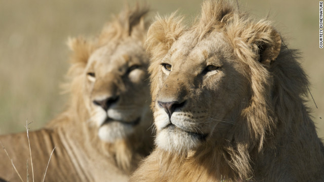 Lions can reach speeds of 50 miles per hour and leap 36 feet. But males have much shorter lives than their female counterparts, living up to 12 years in the wild compared with 18 years for lionesses.