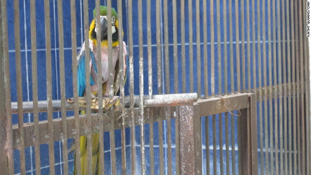 Indonesia's Surabaya Zoo was once one of the country's finest, but in recent years standards have declined to the point where 25 animals were dying each month. This caged Macaw has plucked out its feathers due to stress from living in cramped conditions, zookeepers say.