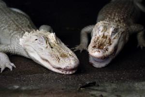 Animales albinos