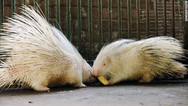 Two albino porcupines compete for a corn cob at the Kamla Nehru Zoological Garden in Ahmedabad, India.