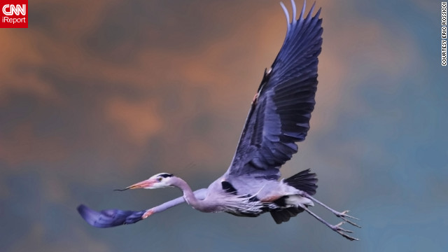 Eric Rossicci captured this photo of a graceful Great Blue Heron