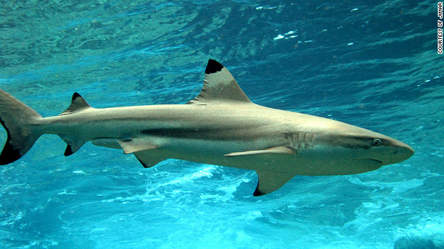 A blacktip reef shark. Baum says reef sharks are the &quot;apex predators&quot; of coral reefs and like predators in other eco-systems play important roles in structuring food webs.