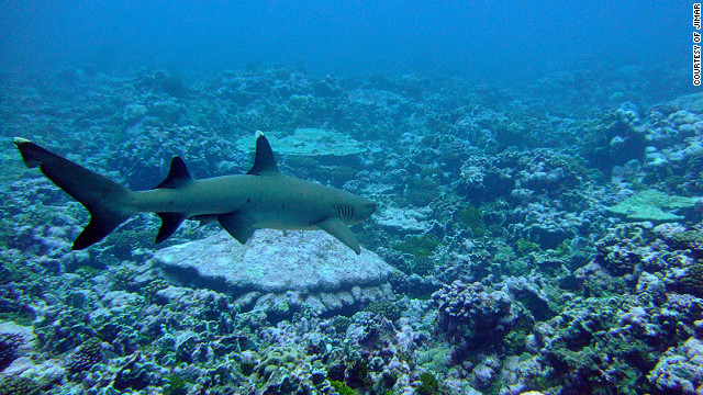A whitetip reef shark at Palmyra Atoll. Lead author of the study Marc Nadon said: &quot;Reef shark numbers were greatly depressed compared to reefs in the same regions that were simply further away from humans.&quot;
