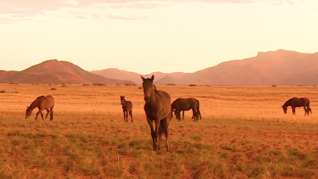 Another major attraction in the area are the wild horses, believed to be the feral descendents of military horses. Over the generations, the horses of the Namib have adapted to be able to survive for long periods without water.