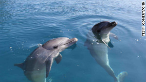The dolphins had to learn how to catch their own food before their release.