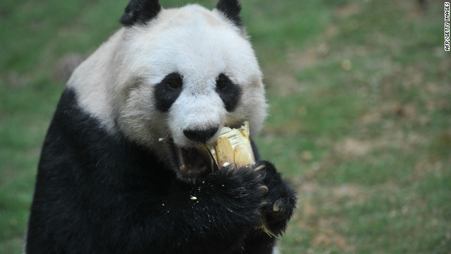 Eye catching animals like pandas are more likely to be the focus of conservation efforts, a new study has found.
